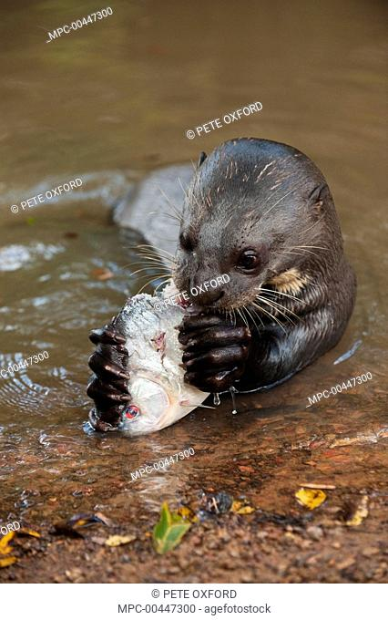 Giant River Otter (Pteronura brasiliensis) eating Black Piranha (Serrasalmus rhombeus), Karanambu Trust, Rupununi, Guyana