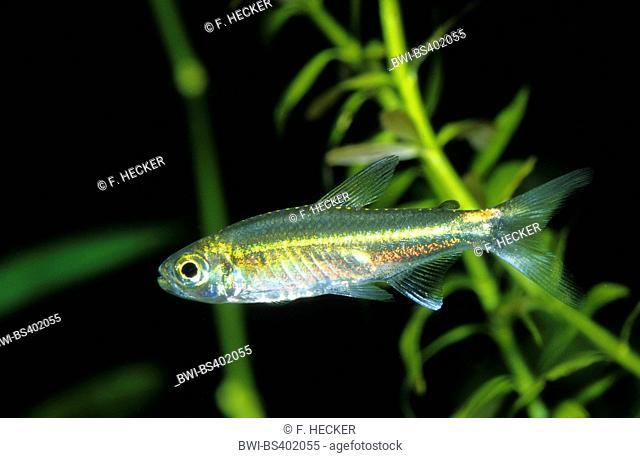 January tetra, Green neon (Hemigrammus hyanuary, Costello tetra), swimming
