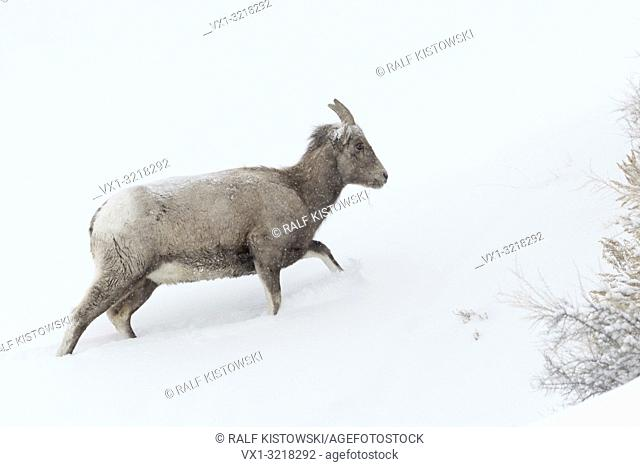 Rocky Mountain Bighorn sheep / Dickhornschaf ( Ovis canadensis ) in winter, adult female, walking up a hill, deep snow, harsh weather conditions, Yellowstone