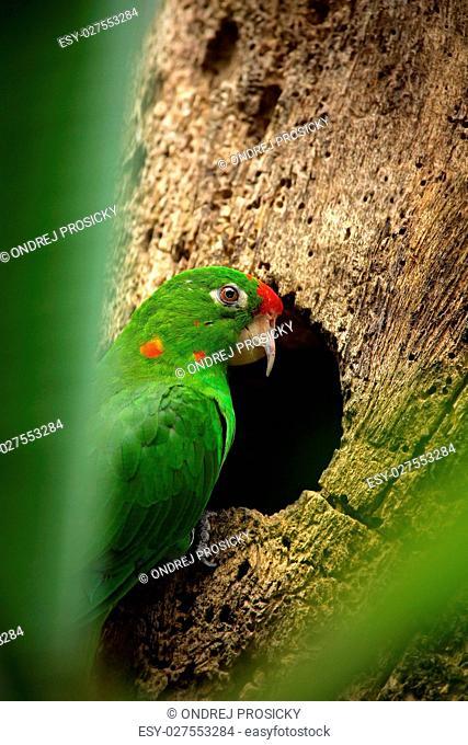 green parrot Finsch's parakeet, Aratinga finschi