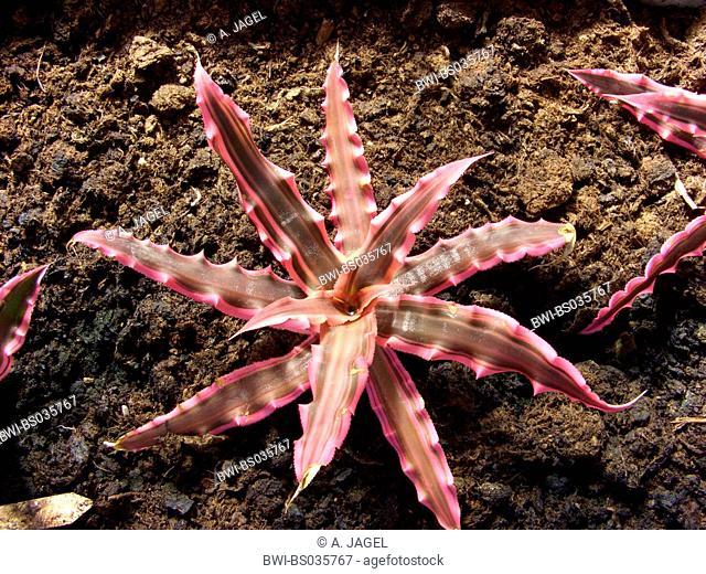 Cryptanthus bromelioides (Cryptanthus bromelioides, Cryptanthus acaulis var. bromelioides), top view