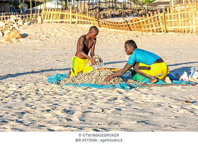 Malagasy fishermen collecting dried fish on the beach, Morondava, Toliara province, Madagascar