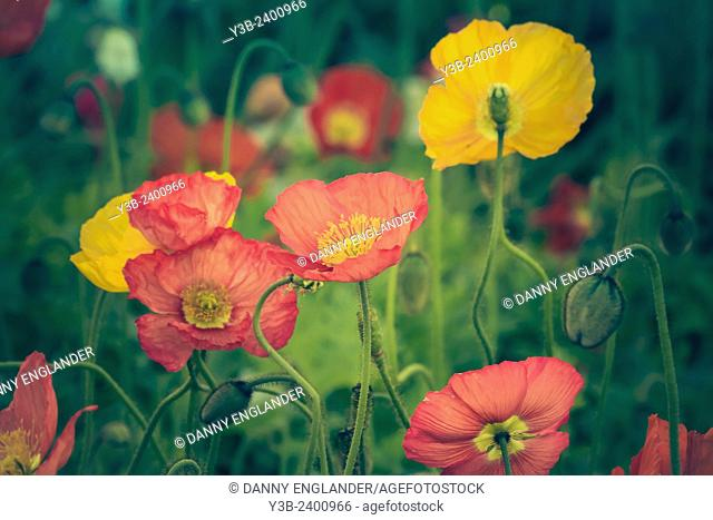 Vintage Poppies growing in a field