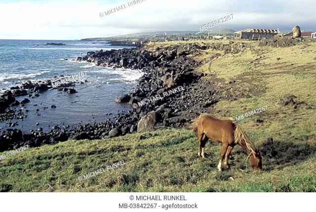 Chile, Easter island, Rapa Nui national park, cattle coast, horse,   South America, Pacific, island, Isla de Pascua, rock coast, animal, food search
