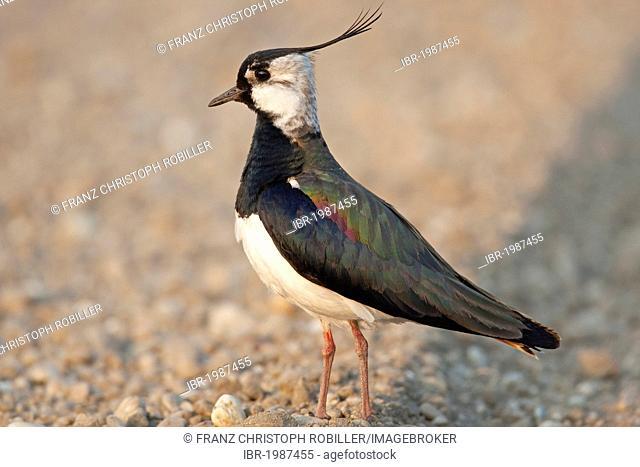 Northern Lapwing, Peewit or Green Plover (Vanellus vanellus), Lake Neusiedler See, Austria, Europe