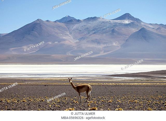 Chile, national park Nevado Tres Cruzes, Laguna del Negro Francisco, Vicuna