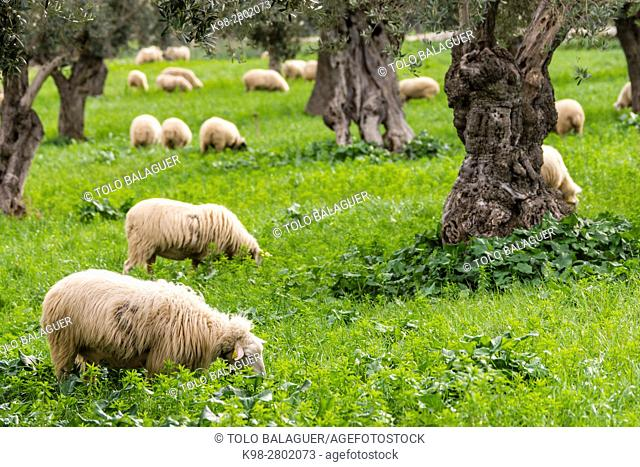 Sheep grazing, Alqueria d Avall, Bunyola, region of the Serra de Tramuntana, Mallorca, Spain