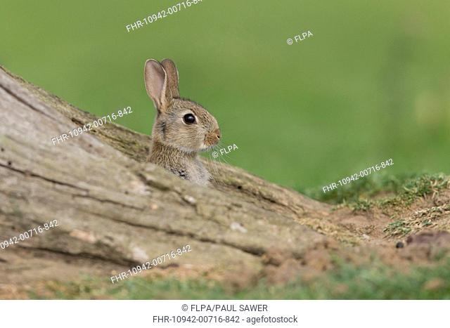 European Rabbit (Oryctolagus cuniculus) young, looking out from burrow between tree roots, Suffolk, England, June