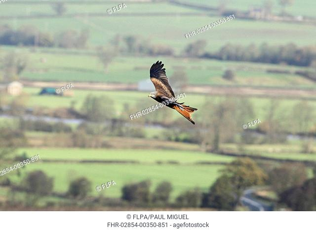 Red Kite (Milvus milvus) immature, in flight over valley farmland, Harewood, West Yorkshire, England, November