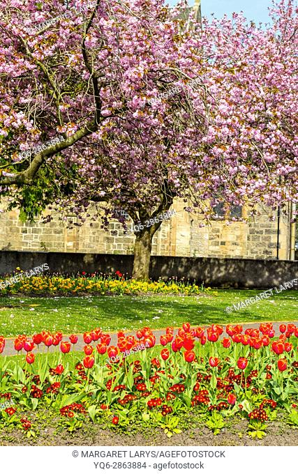Lennox Town, Scotland, United Kingdom, beautiful Weather. Japanese cherry trees in full blossom in May. These beautiful trees are blooming all over Scotland at...