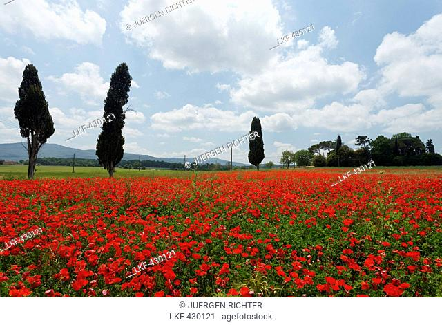 Cypresses in a red poppy field, near Colle di Val d Elsa, Tuscany, Italy, Europe