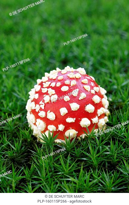 Fly agaric / fly amanita (Amanita muscaria) early stage showing globose cap