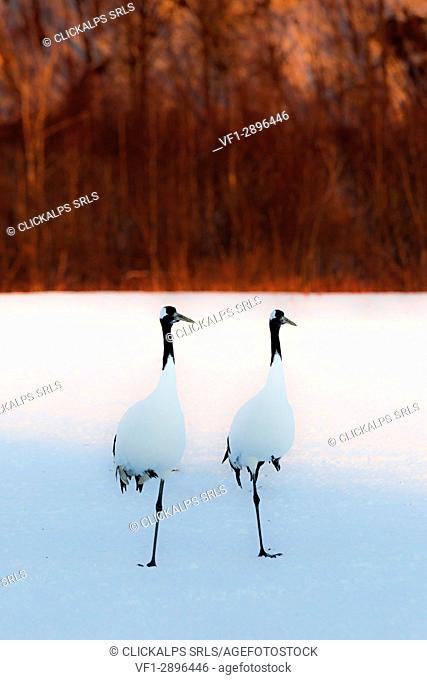 Red crowned cranes, Akan, Japan