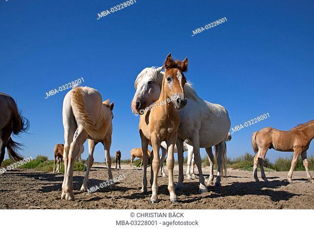 Camargue horse in the Camargue, Saintes-Maries-de-la-Mer, Provence-Alpes-Cote d'Azur, Maguelonne, Provence, France