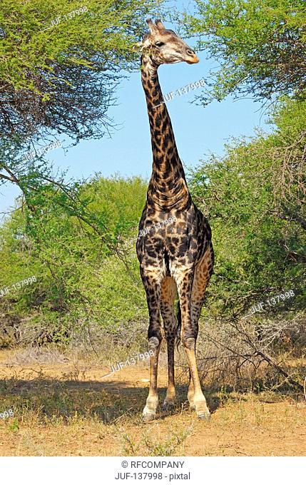 giraffe - standing / Giraffa camelopardalis