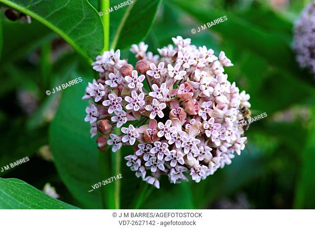 Common milkweed or silkweed (Asclepias syriaca) ia a perennial herb (geophyte) native to Canada and northern USA. Your latex are toxic (glycosides) for mammals
