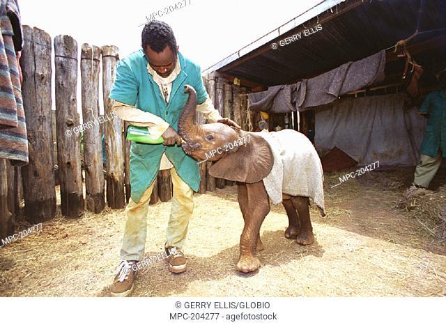 JACKSON FEEDING LALBON, A 3-WEEK OLD AFRICAN ELEPHANT, (Loxodonta africana) ORPHAN, DAVID SHELDRICK WILDLIFE TRUST ORPHANAGE, NAIROBI N.P, KENYA