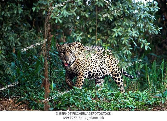 Jaguar, walking through riverine forest, looking to the camera, Pantanal, Brazil