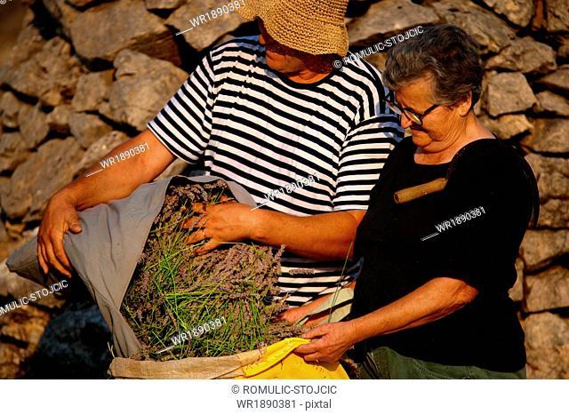 Lavender Harvest, Island Hvar, Dalmatia, Croatia, Europe
