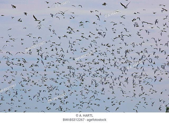 black-headed gull (Larus ridibundus, Chroicocephalus ridibundus), large flock flying, Germany, Mecklenburg-Western Pomerania