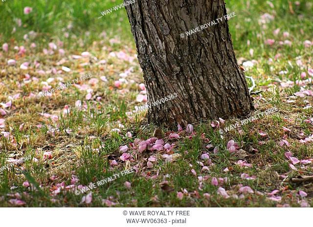 Fallen cherry blossoms Prunus serrulata presents a clear picture of spring in Edmonton, Alberta