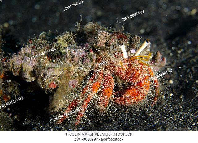 Hermit Crab (Dardanus sp. ) on black sand, USAT (US Army Transport) Liberty wreck dive site, Tulamben, east Bali, Indonesia