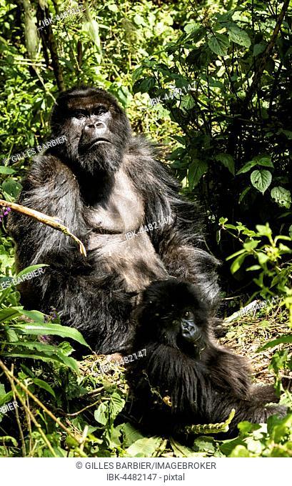 Isabukuru Mountain Gorillas (Gorilla beringei beringei), Volcanoes National Park, Parc National des Volcans, Rwanda