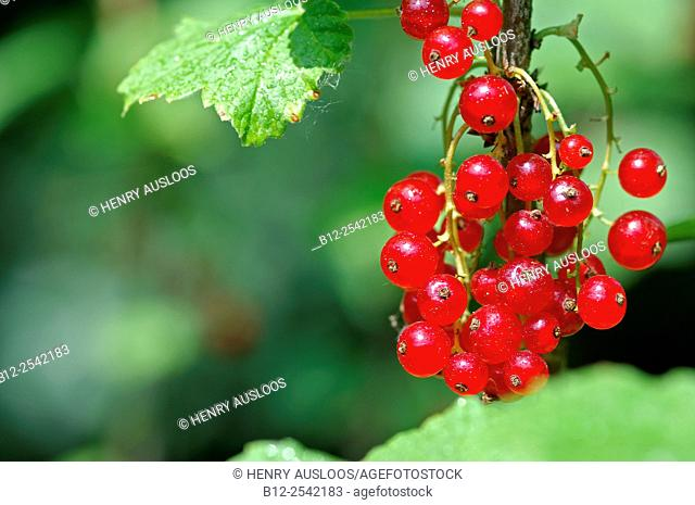 Redcurrant - Ribes rubrum - France