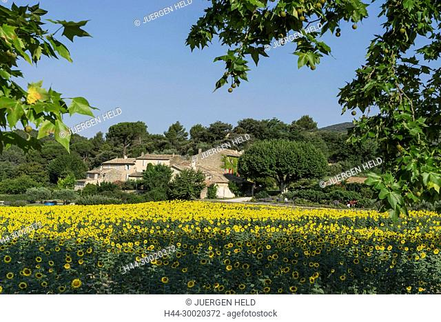 France, Alpes-de-Haute-Provence, Luberon, Lourmarin, Provence, Vaucluse, Medieval, Sunflowers