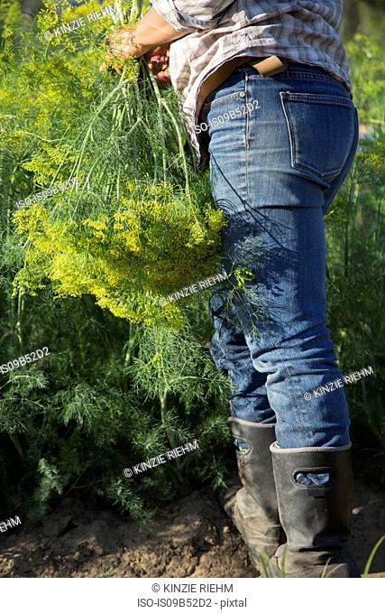 Waist down view of woman selecting flowering dill (anethum graveolens) from flower farm field