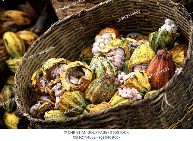 cocoa pods shucking in a plantation of Sao Tome Island, Republic of Sao Tome and Principe, Africa