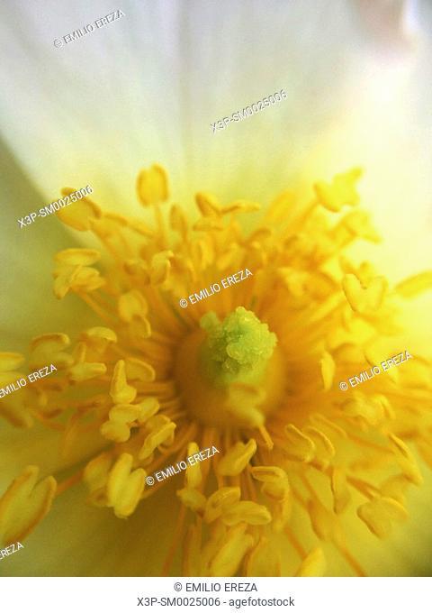 Dog rose flower. Macro. Rosa canina