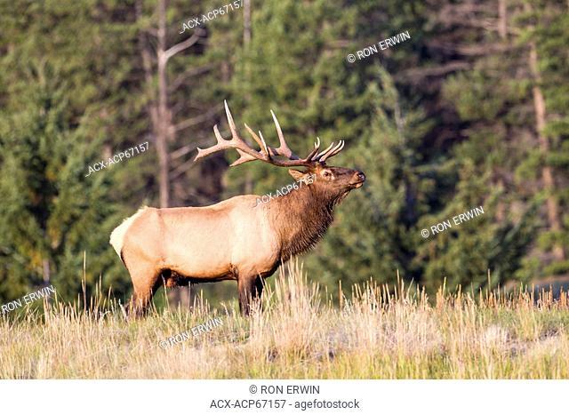 Bull Elk or wapiti (Cervus canadensis formerly classed with Cervus elaphus) in Jasper National Park, Alberta, Canada