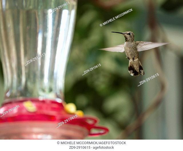 A hummingbird hovers