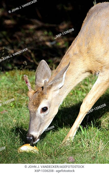 A White-tailed Deer Buck, Odocoileus virginianus, eating bread in a park  The Buck's antlers are beginning to grow and blood can be seen seeping through the...