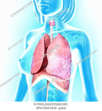 Female chest anatomy, computer artwork