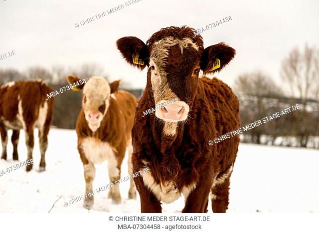 Calves in snow, trip to the pasture