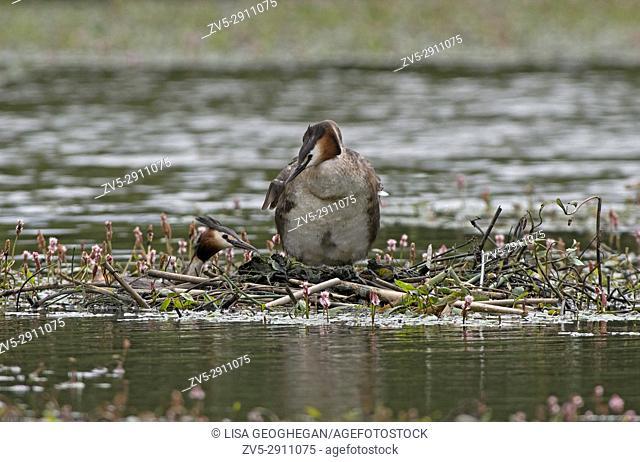 Great Crested Grebes-Podiceps cristatus on nest. Uk