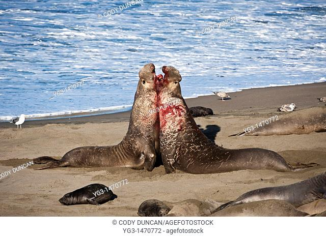 Adult male northern elephant seals fight on beach at Piedras Blancas, San Simeon, California