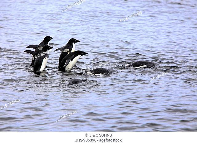 Adelie Penguin, (Pygoscelis adeliae), Antarctica, Brown Bluff, group of adults swimming in water