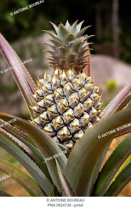 Pineapple, Tari, Papua New Guinea