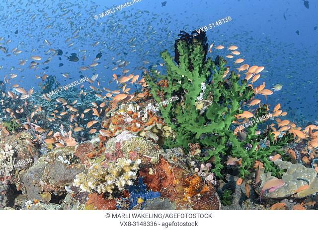 Scalefin anthias, Pseudanthias squamipinnis, Verde Island, Batangas, Philippines, Pacific