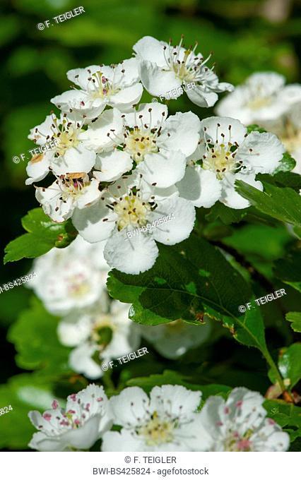 English hawthorn, midland hawthorn (Crataegus laevigata), blooming branch, Germany