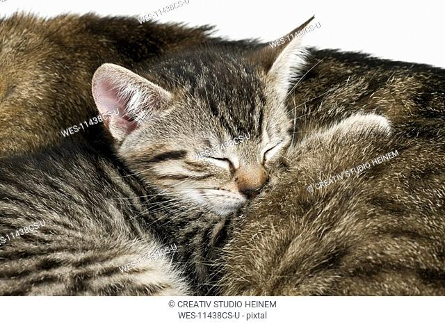 Domestic cats, cat and kitten sleeping, portrait, close-up