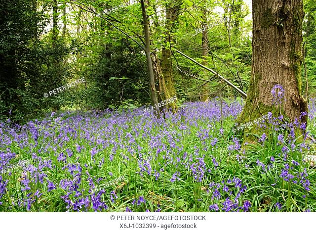 Bluebells in 100 Acres Wood