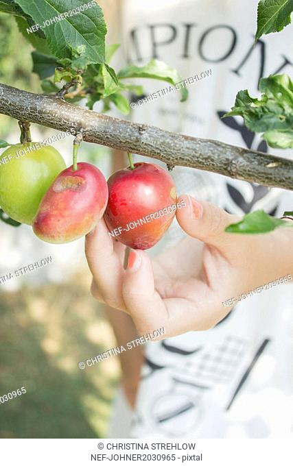 Hand picking apple