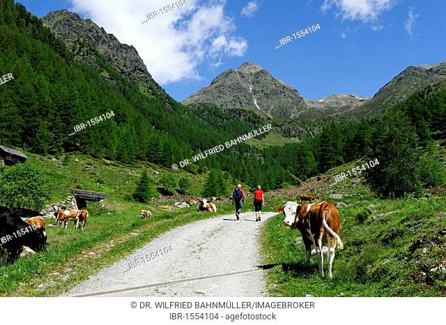 Ascent to the Astnerbergalm mountain pasture at Terenten, Winnebachtal valley, Pusteria, South Tyrol, Italy, Europe