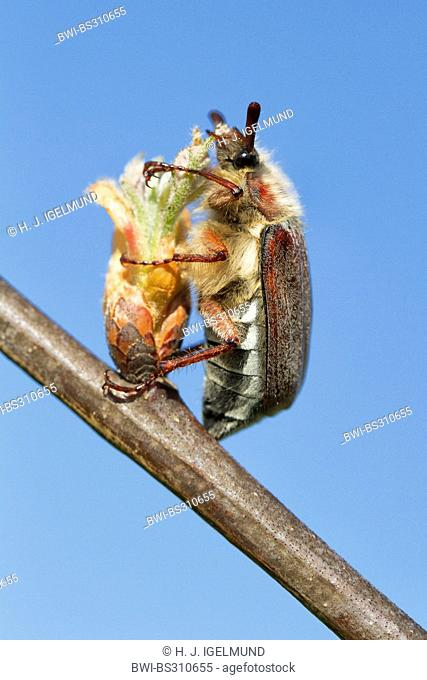 common cockchafer, maybug (Melolontha melolontha), feeding on a bud, Germany, Hesse