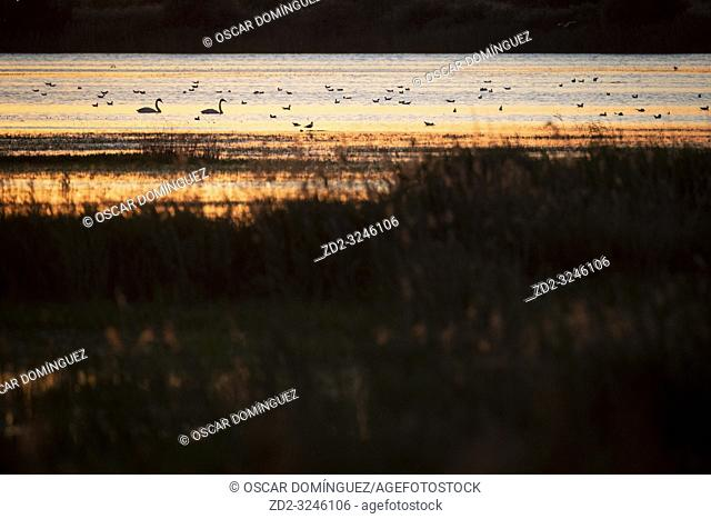 Whooper Swan (Cygnus cygnus) on water. Lubana Wetland Complex. Latvia