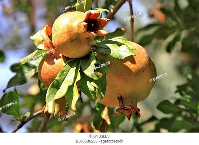Photo essay. Pomegranate on a pomegranate tree Punica granatum. Nefta oasis, Tunisia